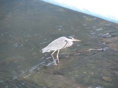 Gray Heron at Zushi, Tagoe river