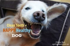Brushing your pet's teeth regularly is the one and only effective protection to dental disease. Infographic below provided by PetCareRx. Dental disease is caused by a build-up of plaque and tartar on pet's teeth. When pets eat, bacteria multiply in their mouth. Plaque, a yellowish film, is formed on the teeth. Over time, the plaque …