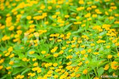 many yellow flowers