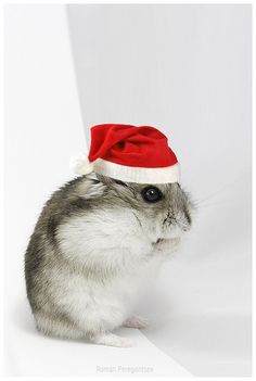 Christmas hamster by romap, via Flickr