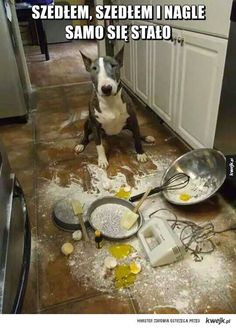 23 Truths that Prove English Bull Terriers Come from Another Planet Bull Terriers Anglais, English Bull Terriers, Mini Bull Terriers, Terrier Puppies, Animals And Pets, Funny Animals, Cute Animals, I Love Dogs, Cute Dogs