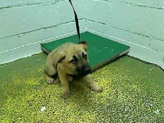 This is Vanessa!! She's a very young pup and terrified! She needs someone to be her hero and save her now! Even if you can only temporarily foster it gets her out of there! Fulton County Animal Services, Atlanta GA Contact: (404) 613-0358 http://fultonanimalservices.com/index.php/adoption-detail?keywordsearch&animalID=6822702&organizations=939&species=Dog&breed=142&age=all&size=all&sex=all&page=1