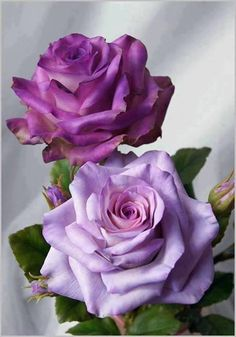 Garden Flowers Day Beautiful World: Purple Roses Or Lilac Roses?