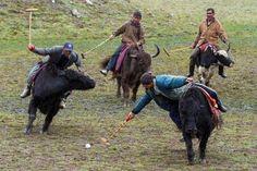 Tibetan exposition Pulu match on Yaks.
