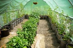 How to Grow Perfect Peppers & Tomatoes in a 5 Gallon Bucket - Urban Organic…