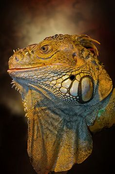 ~~Iguana by pattoise~~