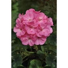 Spring Hill Nurseries 2 in. Pot Carolina Jessamine Gelesemium Vine Live Potted Plant with Yellow Flowers (1-Pack)-62340 - The Home Depot Geranium Plant, Pink Geranium, Geranium Flower, Hibiscus Plant, Evergreen Shrubs, Flowering Shrubs, Blue Fescue, Spring Hill Nursery, Annual Flowers