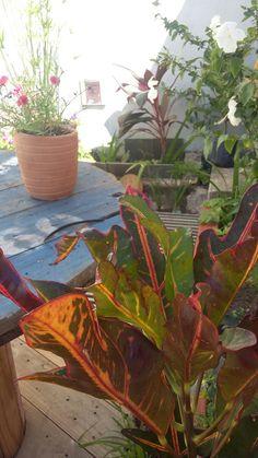 Croton da #GATOMALOKO.