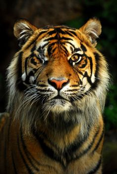 Even with one eye this tiger is majestic as fuck Fast Crazy Nature Deals. Tiger Artwork, Tiger Painting, Big Cats, Cats And Kittens, Cute Cats, Funny Cats, Animals Of The World, Animals And Pets, Cute Animals