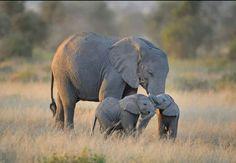 Tweeling olifantjes in natuurpark in Kenia