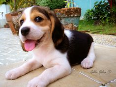 Happy beagle pup