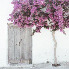 Bougainvillea tree minimalism #crete