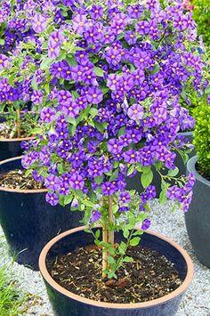 Blue Potato Bush, Blue Solanum Botanical name Lycianthes rantonnetii Purple Flowering Bush, Flowering Bushes, Blue Garden, Dream Garden, Garden Art, Blue Potatoes, Growing Greens, Victory Garden, Landscaping Plants