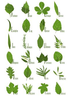 Herbs Clipart botanical name 1 - 236 X 333 Nature Drawing, Plant Drawing, Trees And Shrubs, Trees To Plant, Botanical Illustration, Botanical Prints, Tree Leaves, Plant Leaves, Leaf Identification