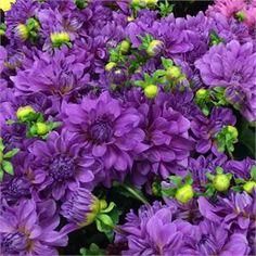 Bluetiful Dahlia- 3.5ft - Item #107 Unique Flowers, Cut Flowers, Dahlia Flowers, Purple Perennials, Growing Dahlias, Flower Subscription, Great Cuts, Garden Shop, Gardening Supplies