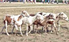 Pelibuey Sheep Characteristics, Origin & Uses Sheep Farm, Sheep And Lamb, Baa Baa Black Sheep, Sheep Breeds, Animal Makeup, Predator, South America, Goats, Places To Visit