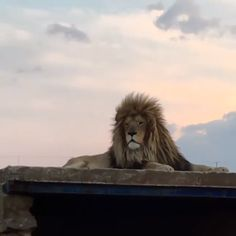 For anyone whos seen The Lion King but yet to hear a lion actually roar (me included). Cute Wild Animals, Big Animals, Majestic Animals, Rare Animals, Cute Funny Animals, Animals And Pets, Lion Images, Lion Pictures, Beautiful Cats