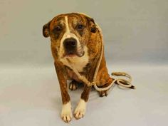 SAFE - 07/28/15 - TIGUERE - #A1044937 - Urgent Manhattan - MALE BR BRINDLE/WHITE AM PIT BULL TER MIX, 7 Yrs - OWNER SUR - EVALUATE NO HOLD Reason MOVE2PRIVA Intake Date 07/21/15 Due Out 07/21/15