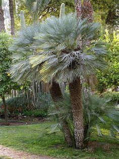 Chamaerops humilis petit palmier bleu de l for Palmier d exterieur resistant au froid