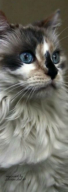 Most recent Photos Ragdoll Cats big Style The large, weak Ragdoll is often a adorable accessory for any kind of pet spouse's home. Pretty Cats, Beautiful Cats, Animals Beautiful, Pretty Kitty, Beautiful Pictures, Adorable Pictures, I Love Cats, Crazy Cats, Cool Cats
