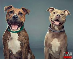 "From the boxer to the Boston terrier, ""bully"" dog breeds come in all shapes and sizes. Unfortunately, many people associate the word ""bully"" with the dog's temperament. Dogs such as the pit bull ar. Rottweiler, Cane Corso, Vynil, The Good Son, Bully Dog, Bully Breed, Dog Rules, Pit Bulls, Bull Terrier"
