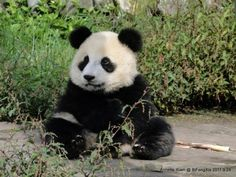 A giant panda cub at the Bifengxia Panda Reserve on September 24, 2011.  © Annette Yuen/Giant Panda Zoo.
