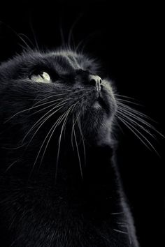 beautiful black cat