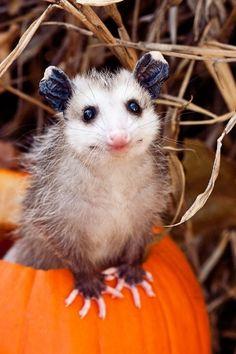 cute possum smiling in a pumpkin