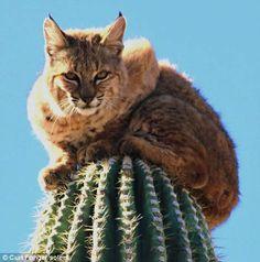 ¿Cómo llegó hasta ahí? Un lince sobre un cactus de 15 metros (Fotos) | Planeta Curioso