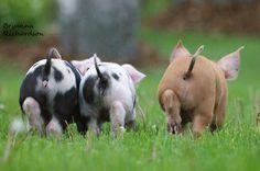 Small Pigs, Farm Animals, Photography, Photograph, Fotografie, Photoshoot, Fotografia