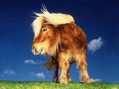 Shetland Pony Wallpaper