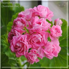 Swanland Pink/Australian Pink Rosebud