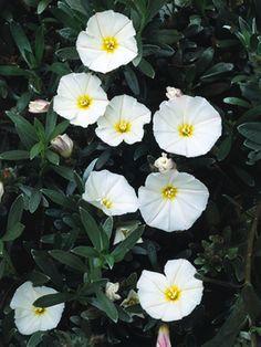 (O))) Convolvulus cneorum, Bush morning glory