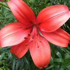 Asiatic Lilly, May 2012