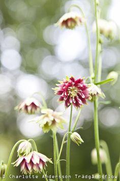 Akleja, Aquilegia vulgaris 'Nora Barlow' (Columbine)