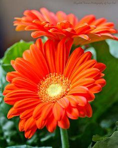 Bright ORANGE GERBER DAISIES Fine Art Photograph Flower Photography Garden Lovers Orange Green Colors Vibrant Bright Gerber Daisy Flowers