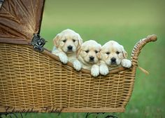 3 Puppies In A Carriage  @Meredith Gonzalez Paw