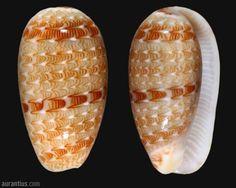 Gibberula moscatellii from Brazil by André Poremski