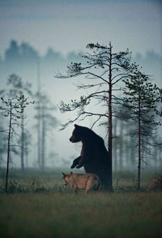 En Finlande, un ours et un loup sont les meilleurs amis du monde pour survivre ensemble, magnifique !