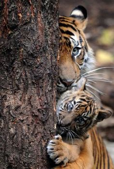 i don't know how the photographer got so close to the tigers. beautiful photo :-)