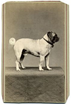 """https://flic.kr/p/fbVgUU   Classic Pug   <b><i>Carte de visite</i> by unidentified photographer</b> A pure bred pug, which was part of a German album. The style of the mount suggests that this image was taken during the 1860s.  <i>I encourage you to use this image for educational purposes only. However, please <a href=""""mailto:rcoddington@facesofwar.com"""" rel=""""nofollow"""">ask for permission</a>.</i>"""