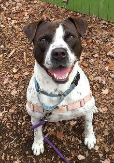 Cookie is an adoptable American Staffordshire Terrier searching for a forever family near Briarcliff Manor, NY. Use Petfinder to find adoptable pets in your area.