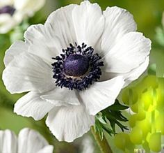 Marianne White - Anemone - Flowers and Fillers - Flowers by category | Sierra Flower Finder