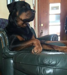 My Cochise would sit in a chair....on a chair...just like this.