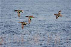 Duck Hunting, Waterfowl Migration, Hunting Reports, Duck Calling, Decoy Tips