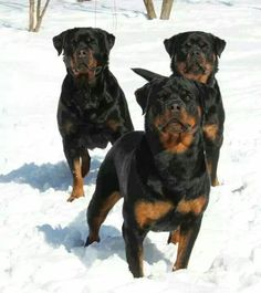 .Rottweilers in the snow