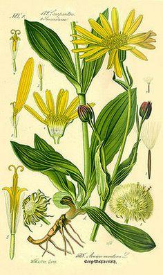 Árnica (Arnica montana L): Propiedades Y Usos Medicinales | ECOagricultor