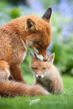 A young wild fox cub is groomed by his older sister (from a previous litter)