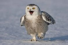 owls | Bird enthusiasts are reporting rising numbers of snowy owls from the ...