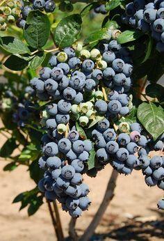 Blueberry Plants For Sale, Blueberry Varieties, Blueberry Picking, Raintree Nursery, Highbush Blueberry, Garden Express, Perfect Plants, Plants Online, Plant Sale